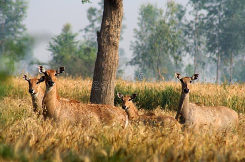 Wilde Antilopen royalty-vrije stock fotografie