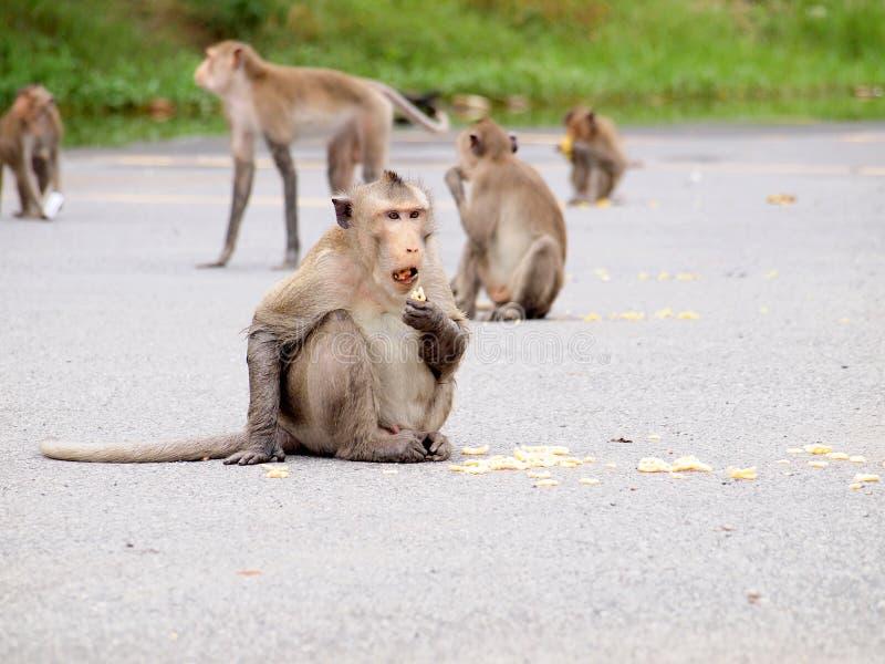 Wilde apen die mensenvoedsel eten stock foto's