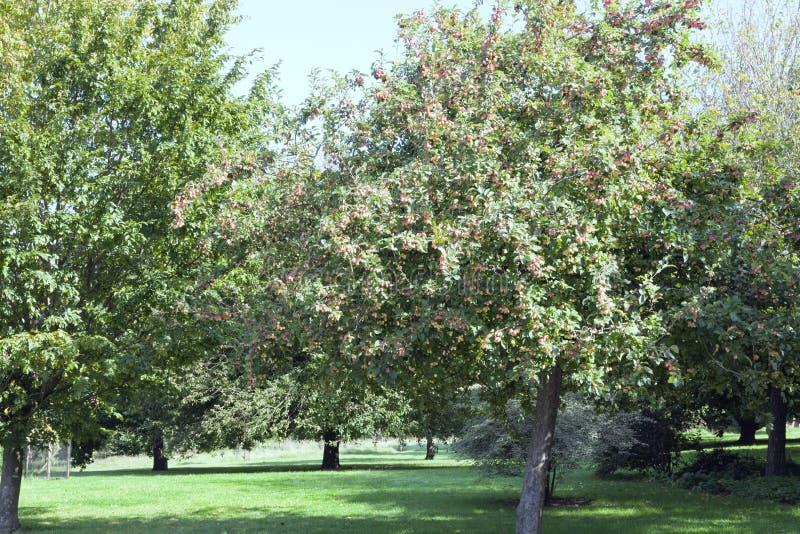 Wilde Apfelbäume in einem Landobstgarten, Sommerszene lizenzfreie stockfotografie