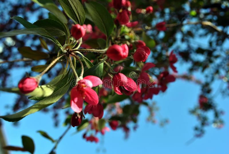 Wilde Apfelbaum-Rosablüte mit grünen Blättern auf undeutlichem Hintergrund des blauen Frühlingshimmels lizenzfreies stockbild