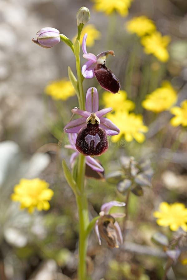 Wilde arachnitiformisorchidaceae vijftig van bloemen macroophrys megapixels printables art. royalty-vrije stock afbeelding