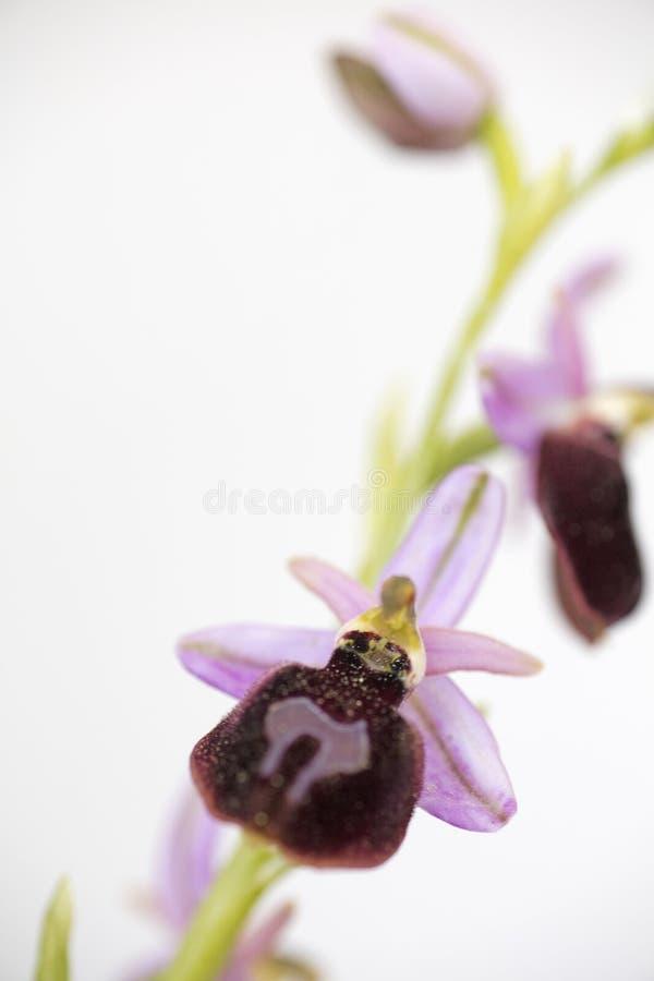 Wilde arachnitiformisorchidaceae vijftig van bloemen macroophrys megapixels printables art. royalty-vrije stock foto's