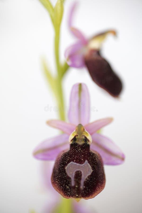 Wilde arachnitiformisorchidaceae vijftig van bloemen macroophrys megapixels printables art. stock afbeeldingen