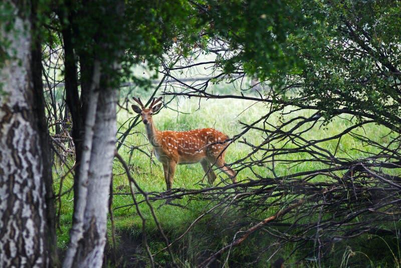 Wilde Aufklärerrotwild im Wald stockfotos