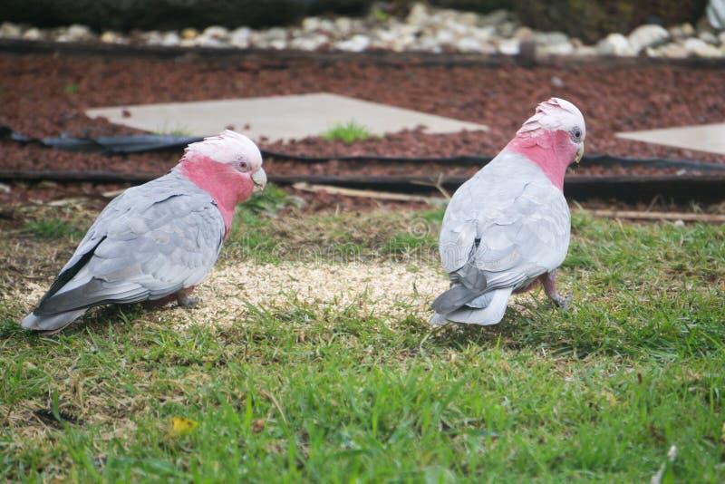 Wilde australische Galahs essen Samen lizenzfreies stockfoto