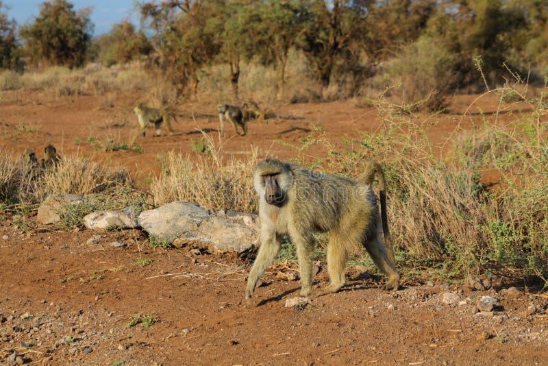 Wilde bavianenaap in het de aardwild van Afrika stock afbeeldingen