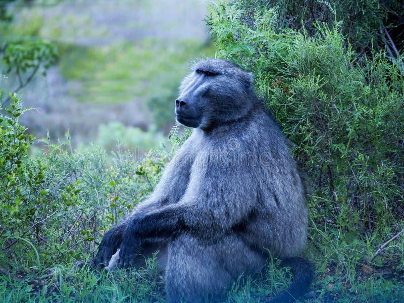 Wilde bavianenzitting in struik die peinzend kijken stock afbeelding
