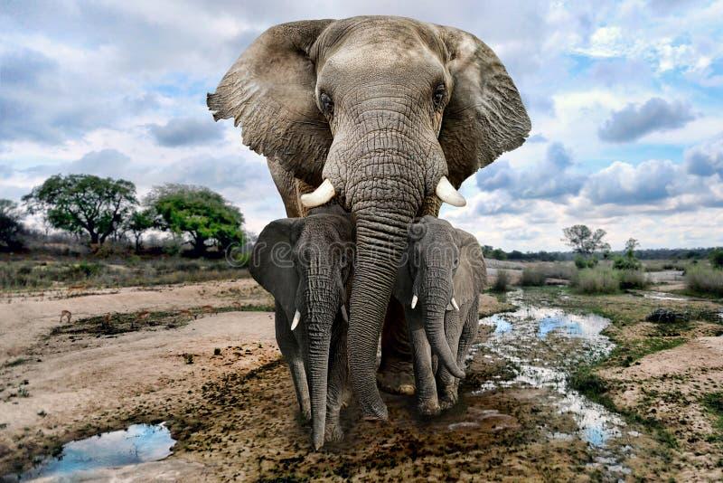 Wilde Beelden van van Afrikaanse Olifanten in Afrika royalty-vrije stock afbeeldingen