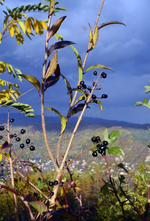 Wilde Beeren stockbilder