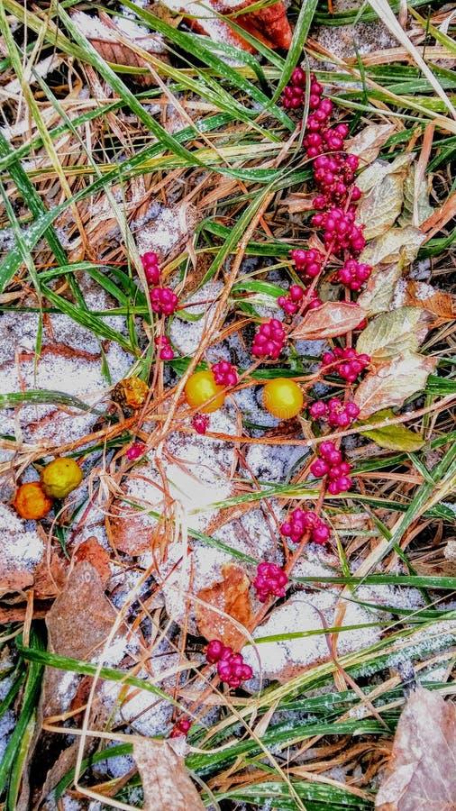 Wilde Beeren im Kansas-Winter lizenzfreie stockfotografie