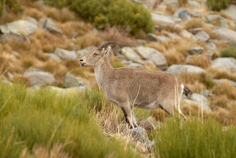 Wilde berggeit in Gredos royalty-vrije stock afbeelding