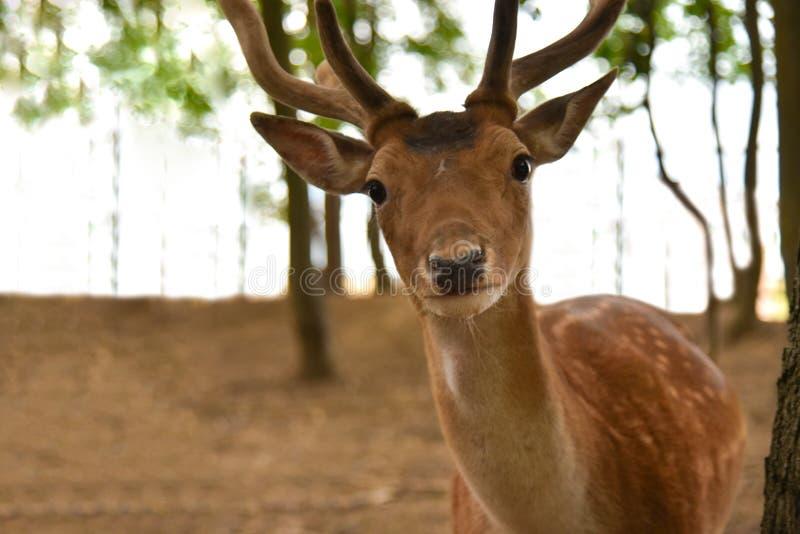 Wilde beschmutzte Rotwild im Wald lizenzfreies stockfoto