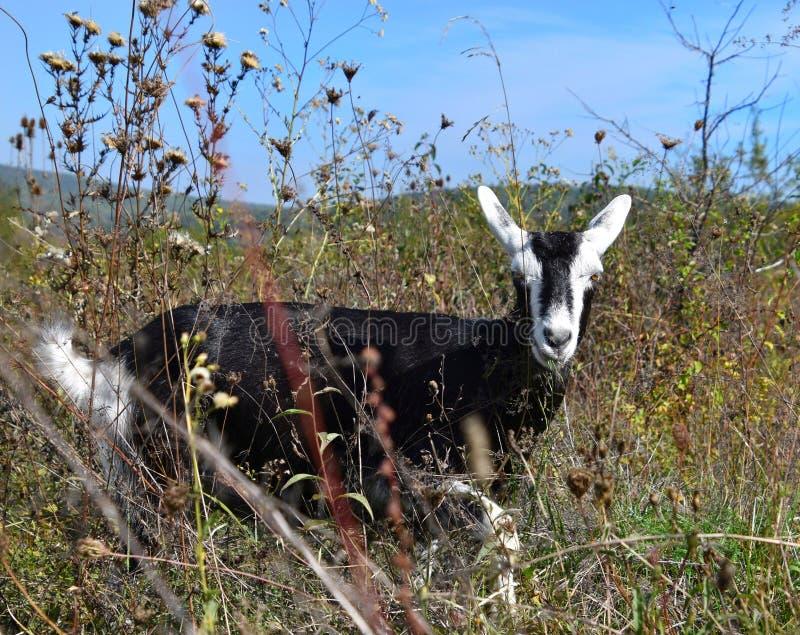 Wilde bevlekte geit op een gebied royalty-vrije stock afbeeldingen