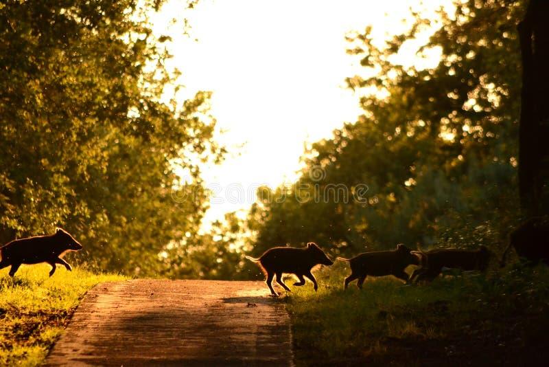 Wilde biggetjesvarkens die een weg kruisen royalty-vrije stock afbeelding