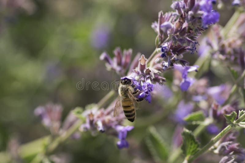Wilde Bij die nectar op bloemen verzamelen Sluit omhoog Macro royalty-vrije stock afbeeldingen