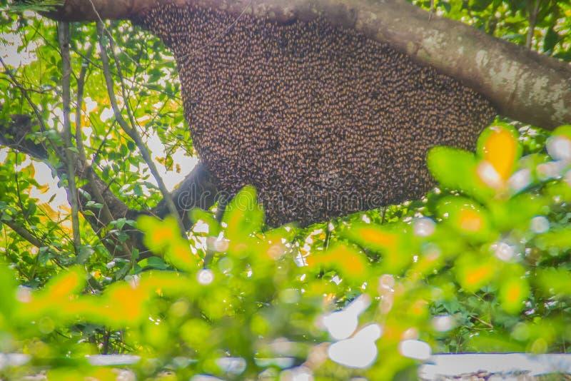 Wilde bijenkorf op de groene aardboom in het boshoningraatnest van de honingbijzwerm die bij de boom in aardbos hangen stock fotografie