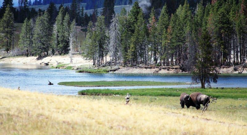 Wilde Bisone auf einem Fluss stockbild