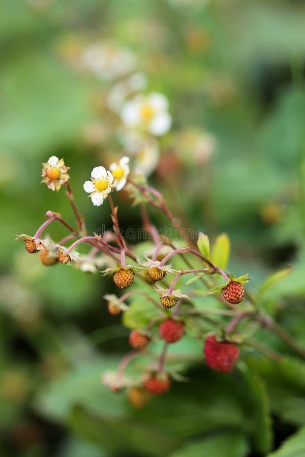 Wilde blühende Erdbeerbetriebsreife rote Beeren stockfotos