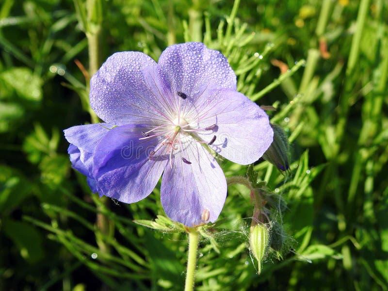 Wilde blaue Blume mit Morgentau, Litauen lizenzfreie stockbilder