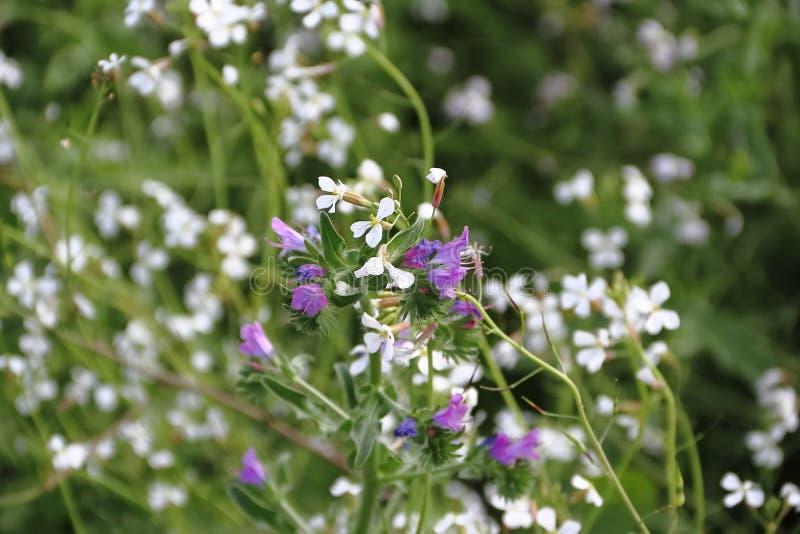 Wilde blaue und weiße Blumen mit defocused Hintergrund stockbild