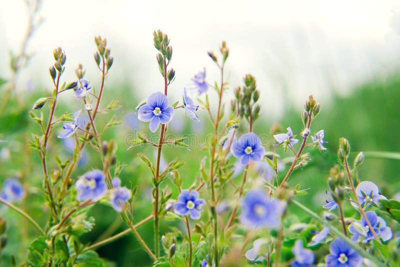 Wilde blauwe bloemen op een weide in de zomerclose-up royalty-vrije stock foto's