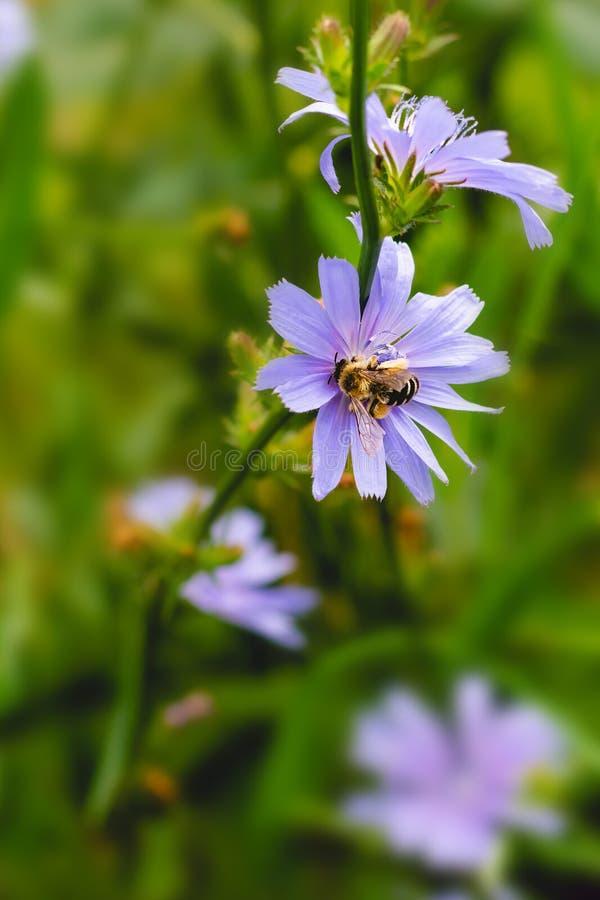 Wilde bloeiende cichoreibloemen in het veld met een kleine bijen erop, medicinale kruiden voor de gezondheidszorg royalty-vrije stock foto