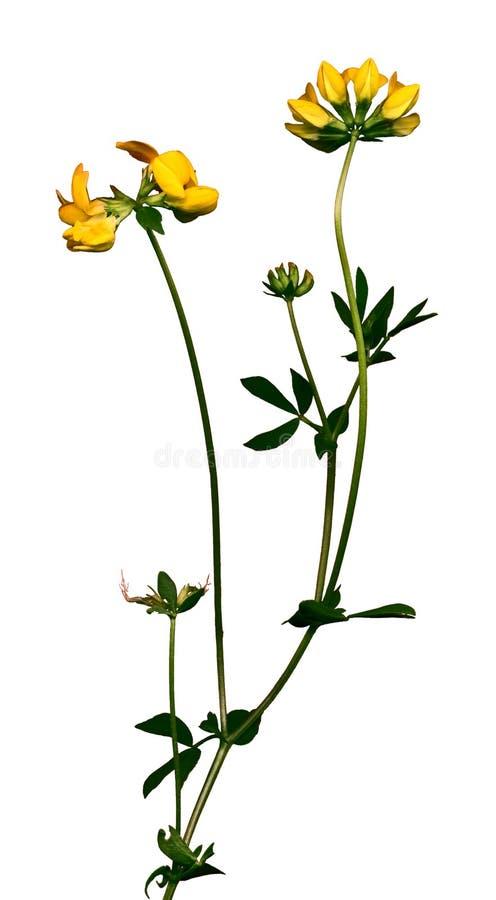 Wilde bloem 2 royalty-vrije stock afbeeldingen