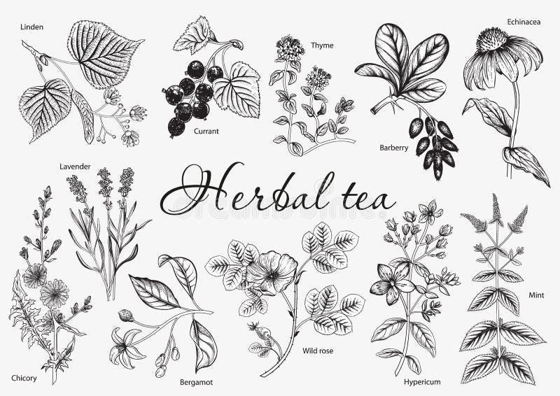 Wilde Bloemen Horsetail infusie in een glaskop Vector illustratie royalty-vrije stock foto's