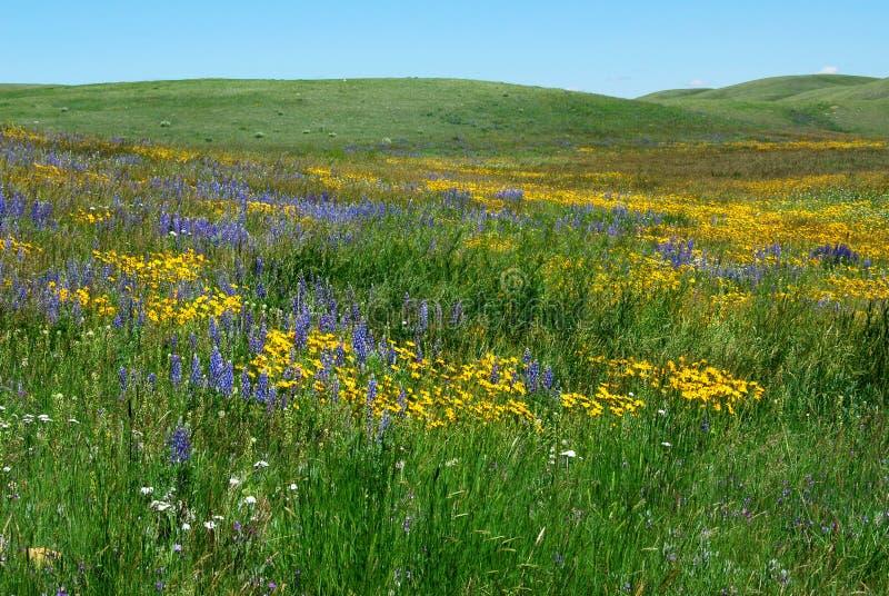 Wilde bloemen op Alberta prairie stock foto's