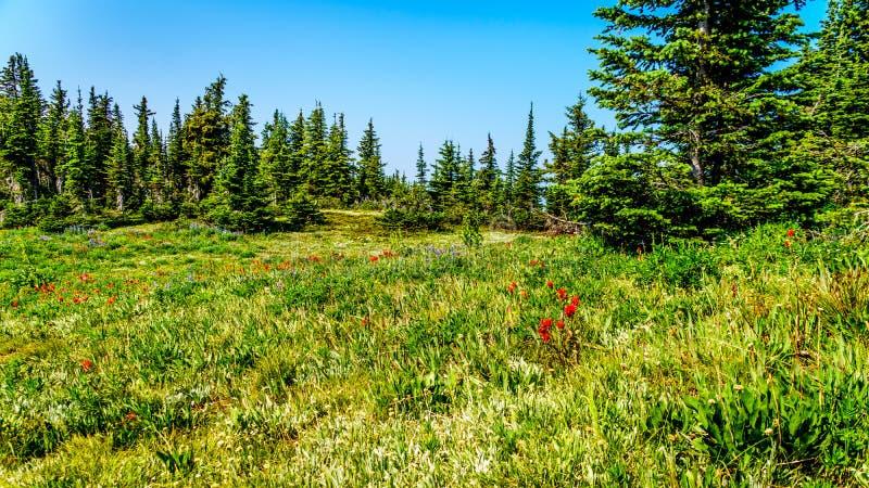 Wilde bloemen op Jeneverbessenrand van Tod Mountain in BC Canada royalty-vrije stock foto