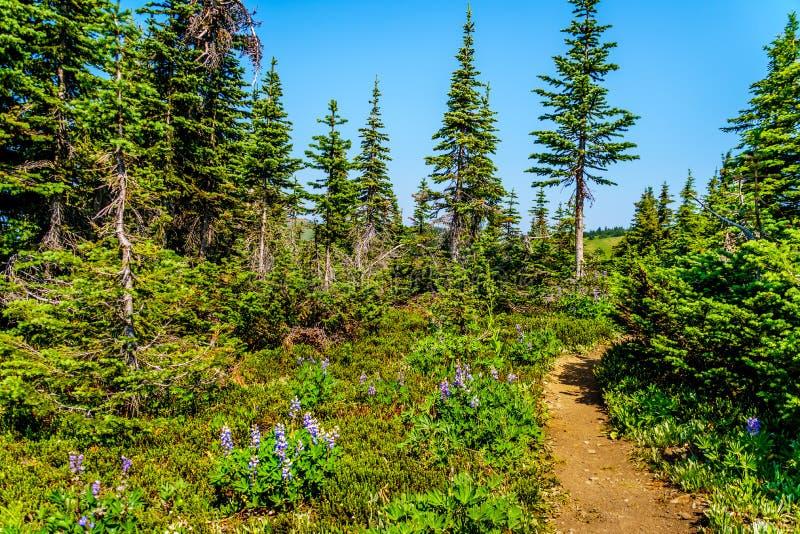 Wilde bloemen op Jeneverbessenrand van Tod Mountain in BC Canada royalty-vrije stock afbeelding