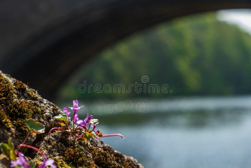Wilde Blume auf der Bank der Fluss-Abnutzung und Framwellgate-Brücke im Hintergrund in Durham, England lizenzfreie stockbilder