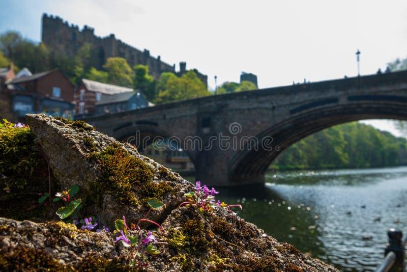 Wilde Blume auf der Bank der Fluss-Abnutzung und Framwellgate-Brücke im Hintergrund in Durham, England stockfoto