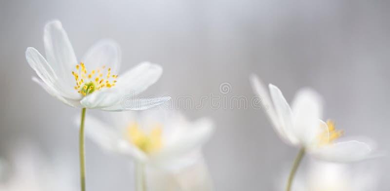 Wilde Blume des Buschwindröschenfrühlinges stockfoto