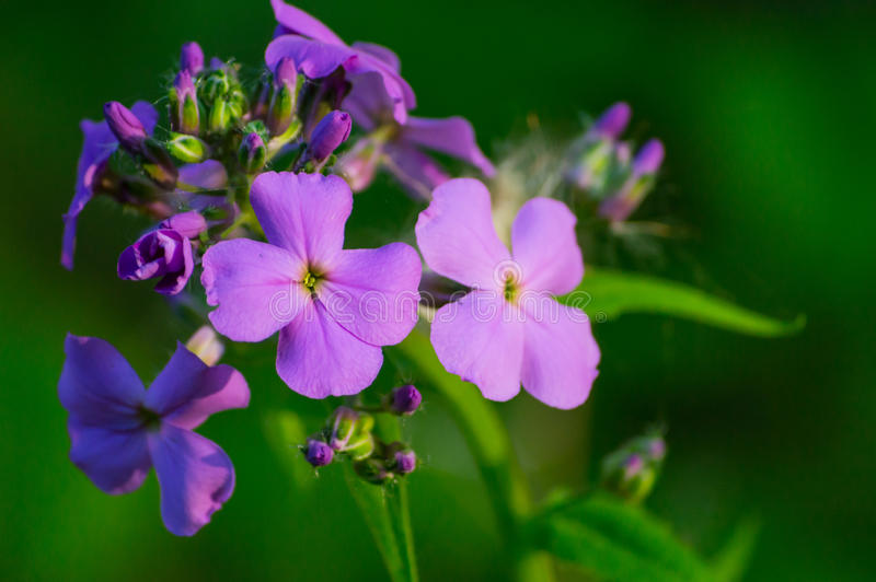 Wilde Blume Wisconsins stockfoto