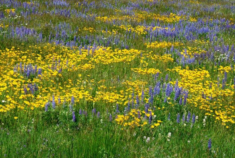 Wilde Blumen auf Alberta-Grasland stockbilder
