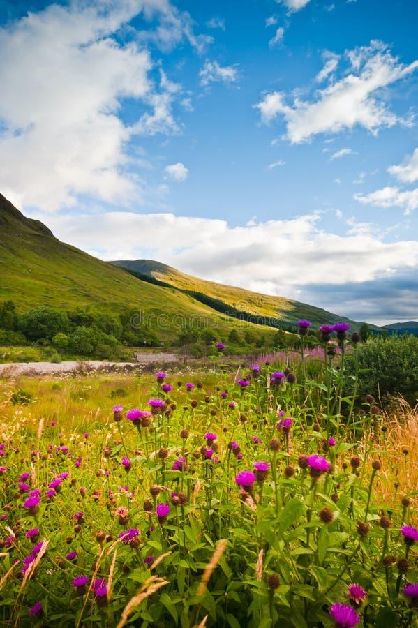 Wilde Blumen auf Gebirgshügel, Schottland lizenzfreies stockfoto