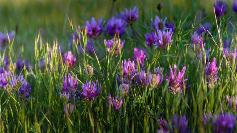 Wilde Blumen der rosa Wiese mit Sonnenlichtnahaufnahme stockfotos