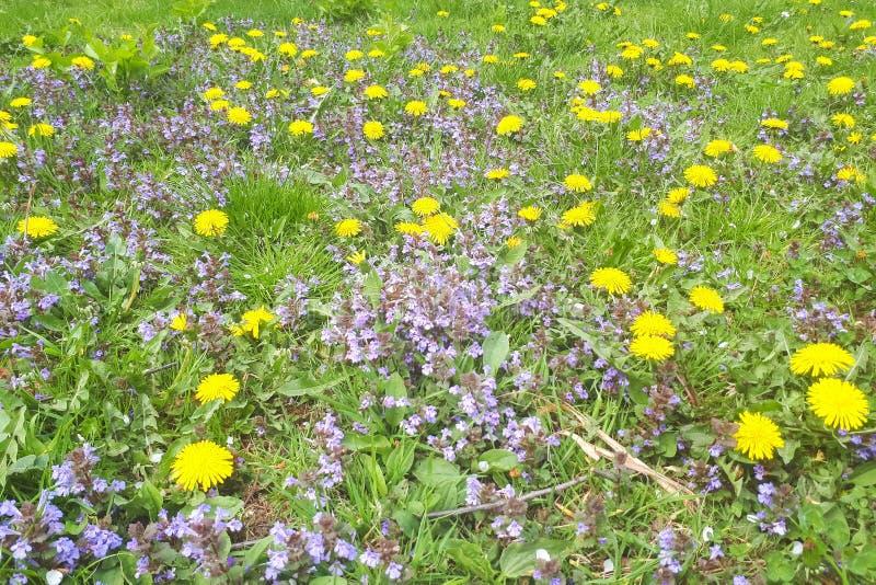 wilde Blumen färben Löwenzahn auf Wiese gelb lizenzfreies stockbild