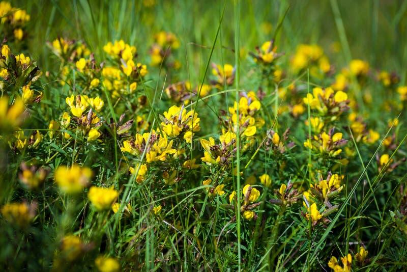 Wilde Blumen gelbes Toadflax (Linaria gemein) lizenzfreies stockfoto