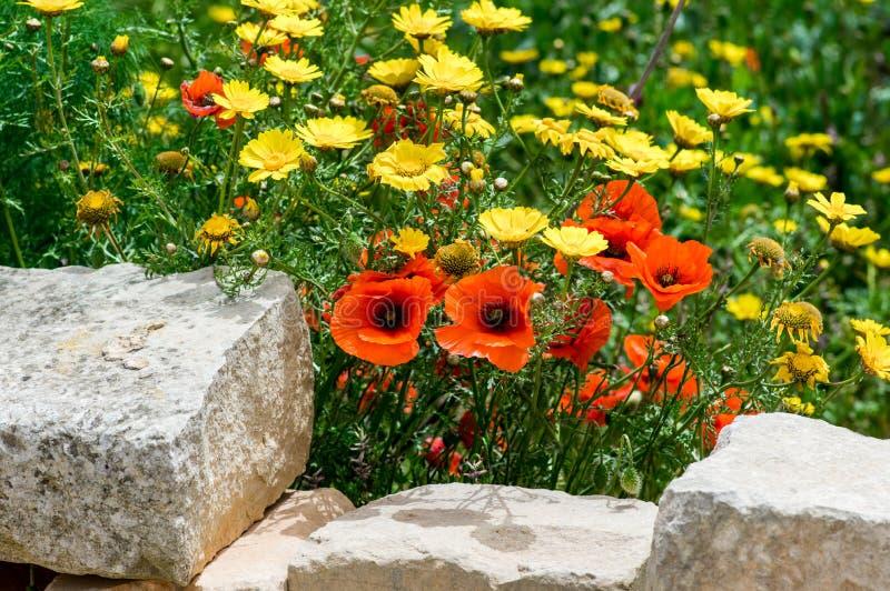 Wilde Blumen im Fr?hjahr, rote Mohnblumen und gelbes Kroneng?nsebl?mchen lizenzfreie stockbilder