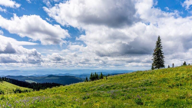 Wilde Blumen im hohen alpinen von Tod Mountain lizenzfreie stockfotografie