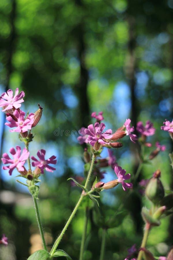 Wilde Blumen Silene-dioica stockbilder