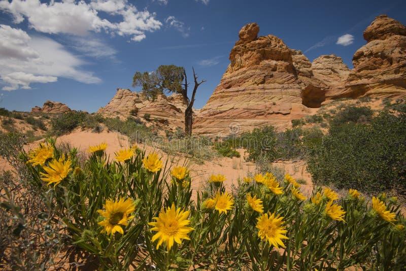 Wilde Blumen und Sandsteinformationen am Cayote-Buttes-Süden, Arizona lizenzfreies stockfoto