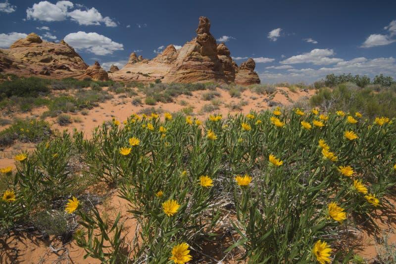 Wilde Blumen und Sandsteinformationen am Cayote-Buttes-Süden, Arizona lizenzfreie stockbilder