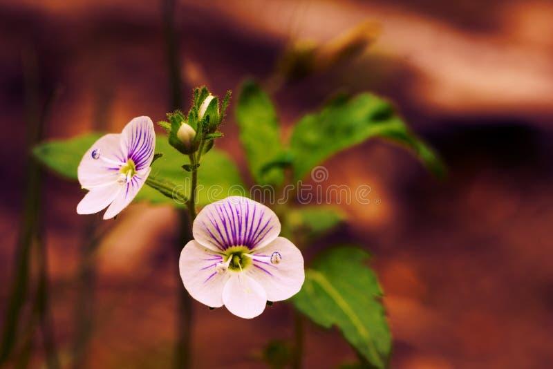 Wilde bos Perzische Ereprijsbloem in hout op aard op een donkere bruine achtergrond royalty-vrije stock fotografie