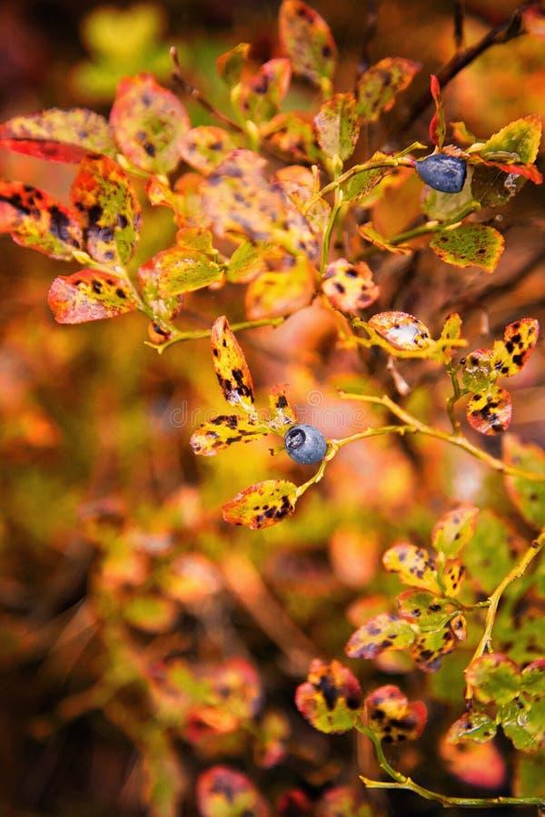 Wilde bosbosbes in macrofotografie stock afbeeldingen
