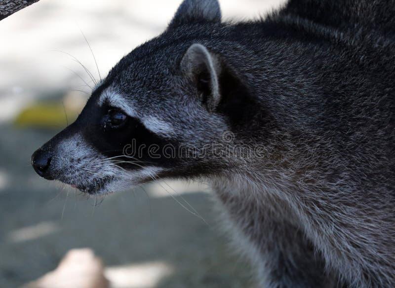 Wilde boze wasbeer in de wildernis van Costa Rica die op voedsel wachten stock afbeelding