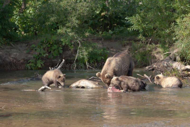 Wilde bruin draagt en welp drie draagt De familie draagt vissend in Kuril meer Klein draag houdt grote vissenzalm stock foto