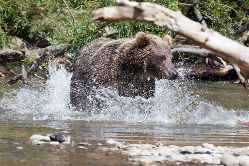 Wilde bruin draagt grizzlyursusarctos vissend op achtergrondmeer Draag in een nevel van water royalty-vrije stock foto's